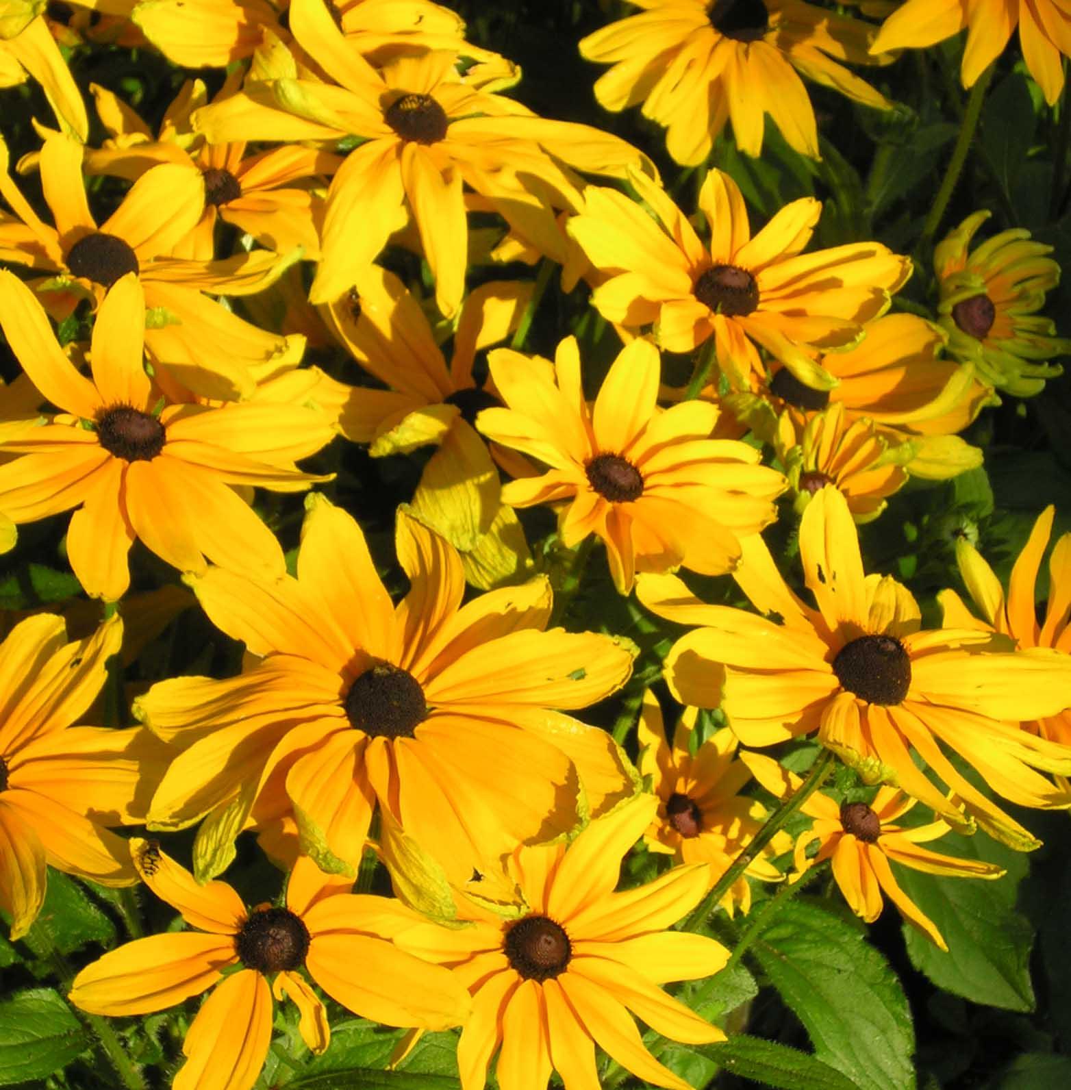 http://4.bp.blogspot.com/-vInhm0RmNfE/Tk_rlt5sB6I/AAAAAAAACAM/X303iK-JydE/s1600/rudbeckia.jpg