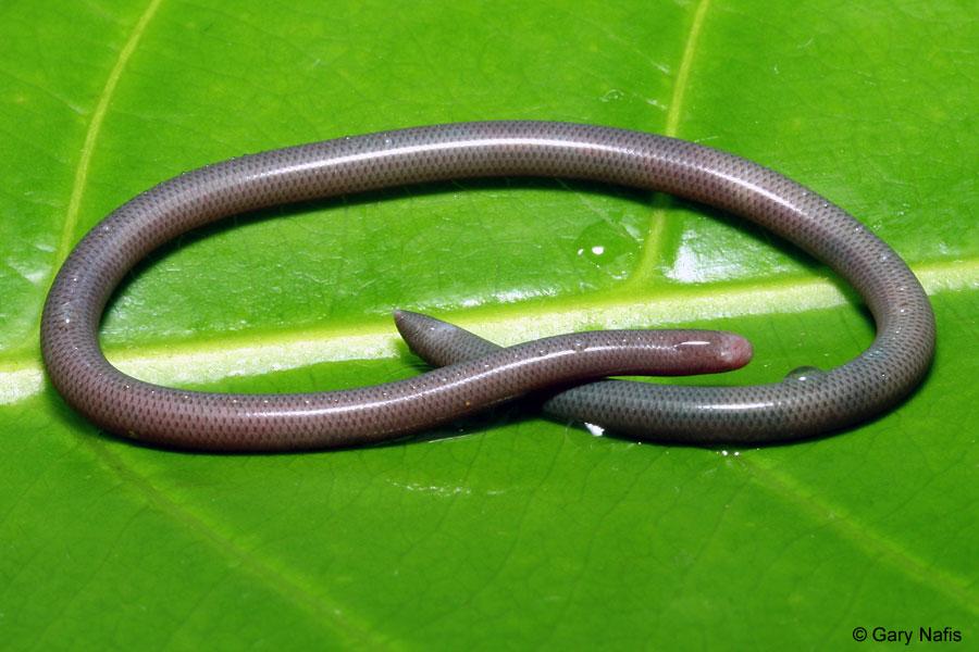 Blind Snake Florida Brahminy Blind Snake