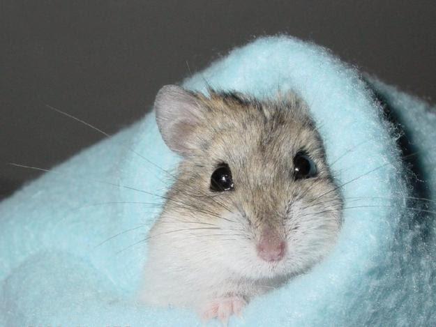 Hamster.com: hamster anão russo