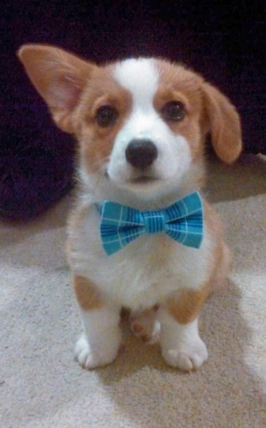 Cute dogs (50 pics), dog pictures, corgi puppy have floppy ear and wears bow tie