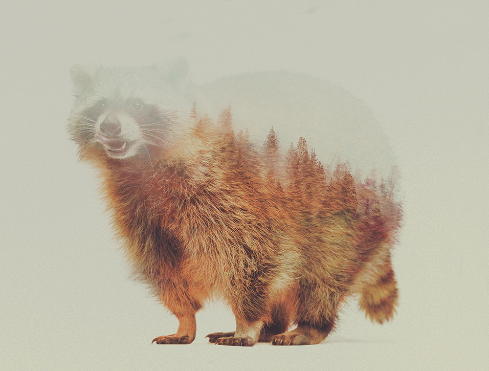 10-Raccoon-Andreas-Lie-Animals-in-Photographic-Double-Exposures-www-designstack-co