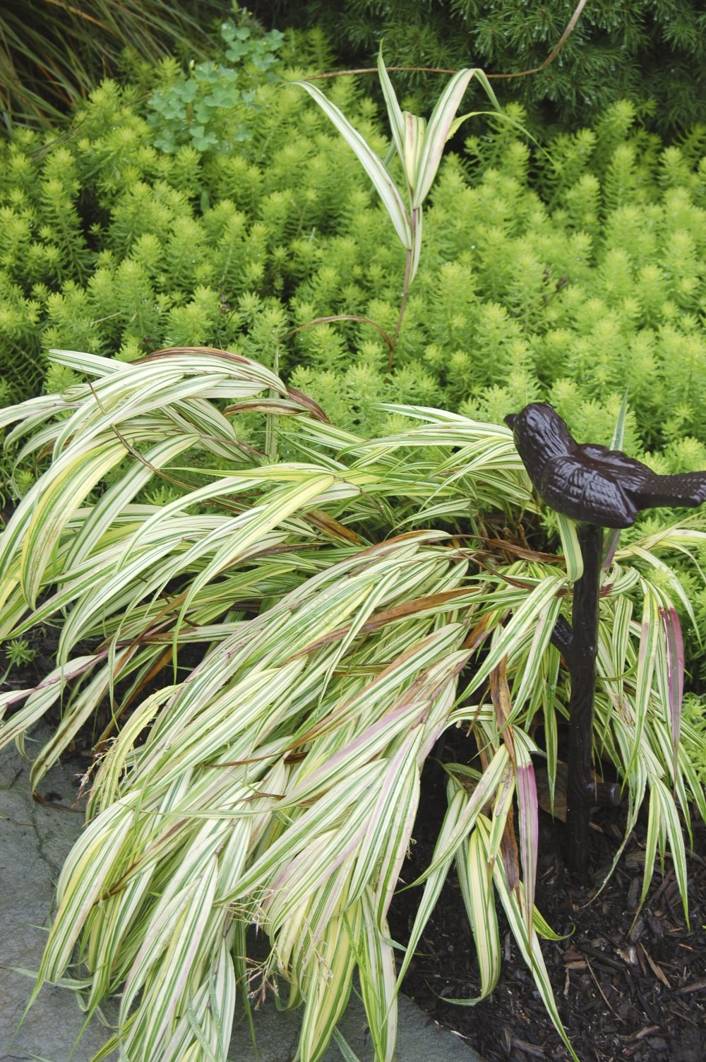 Plant inventory at 20 timothy hakonechloa japanese for Japanese grass