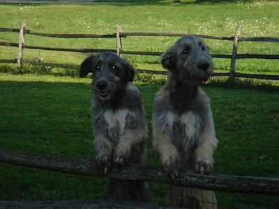 Red irish wolfhound puppies - photo#15