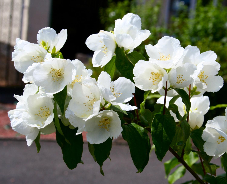 Scottish Artist And His Garden Summer Flowering Shrubs