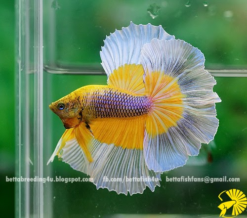 Yellow gas butterfly halfmoon betta fish