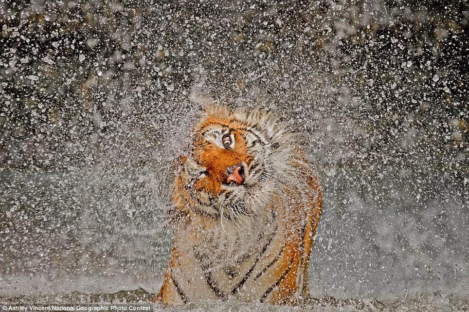 tigre secandose
