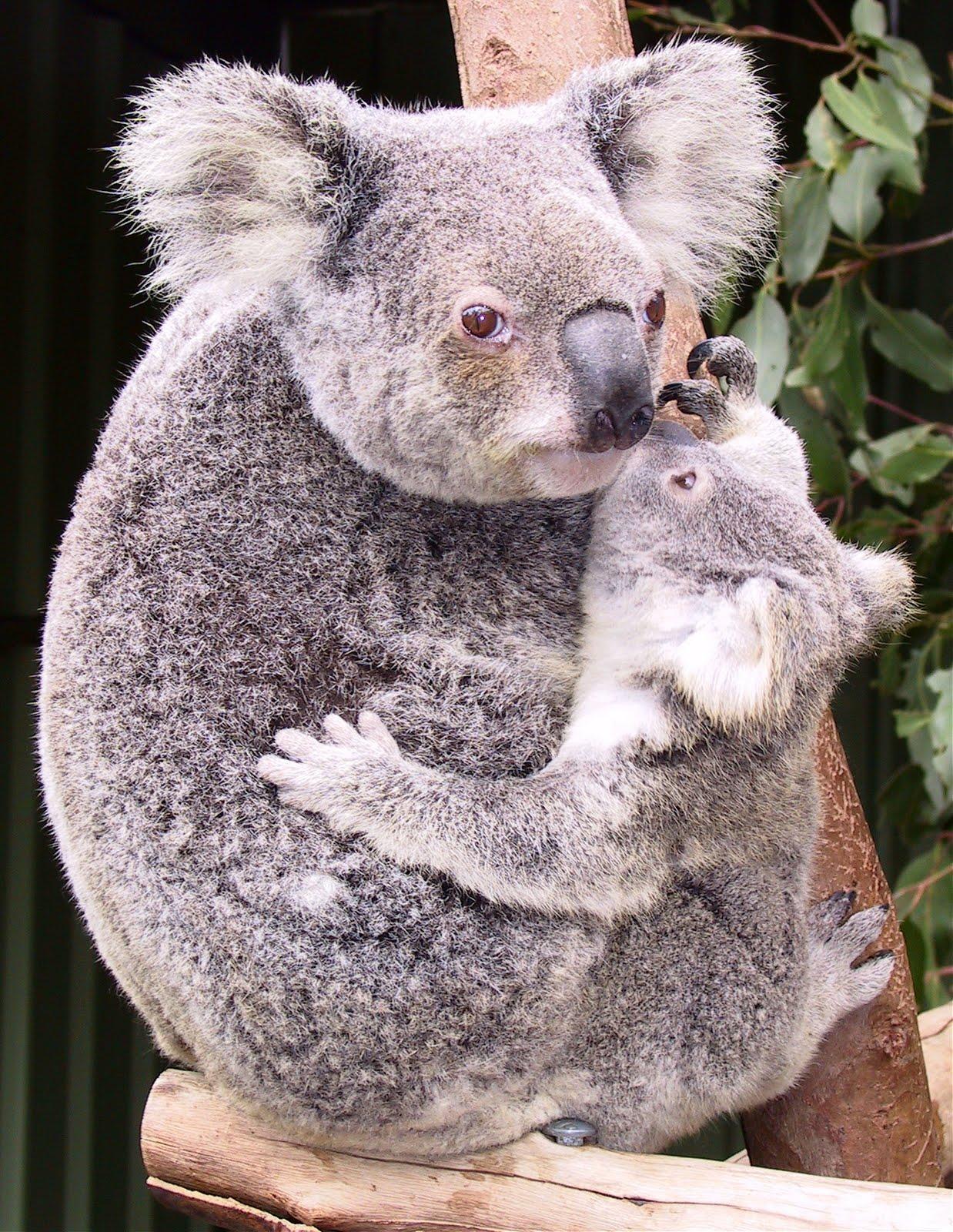 Funny koala photos funny animal - Pictures of koalas and baby koalas ...
