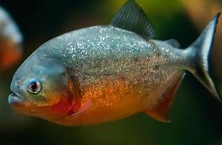 7 Ikan Terkecil Di Dunia Yang Terkenal Dengan Keganasannya
