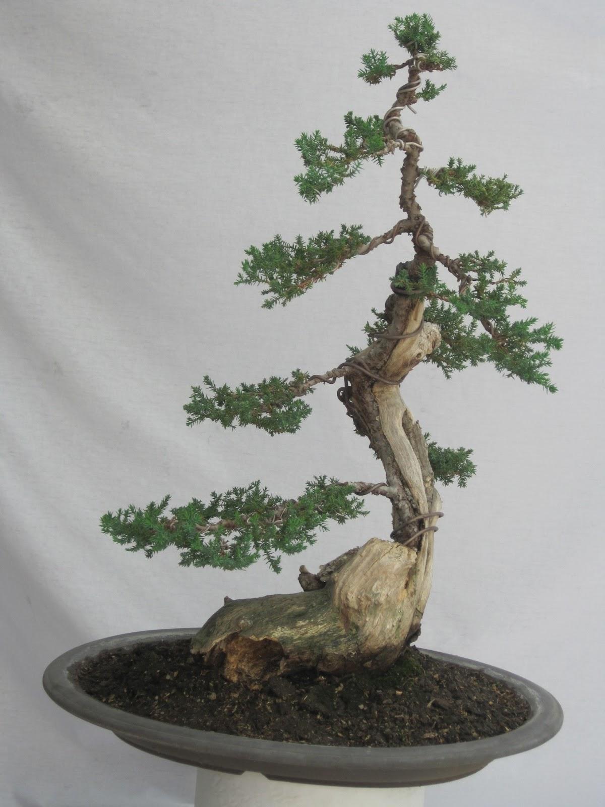 ShoChiku Bai Bonsai Club JUNE 2013 CURRENT BONSAI TREES FOR SALE