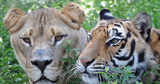 Tigers Endangered Species Tiger Pictures Tiger Facts