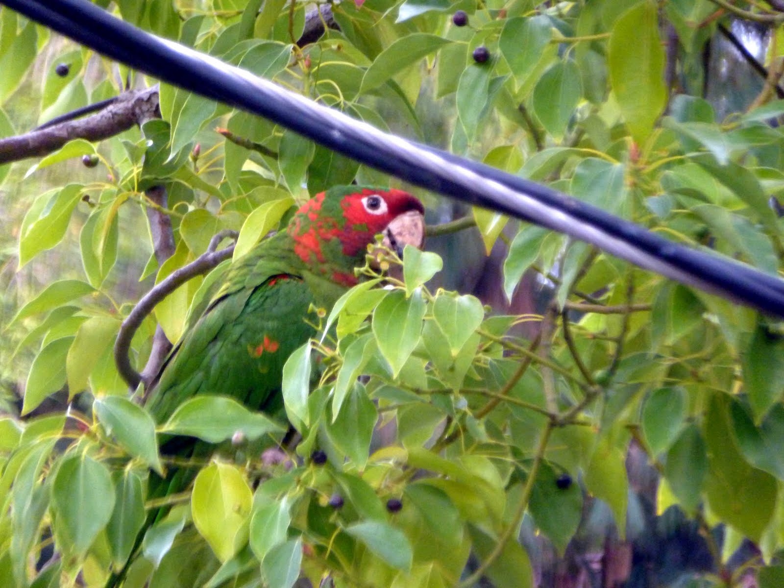 Wild Parrots in Pasadena? Yep! by Scott's L.A. Audio CD Tours