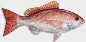 morfologi ikan kakap, Klasifikasi ikan kakap