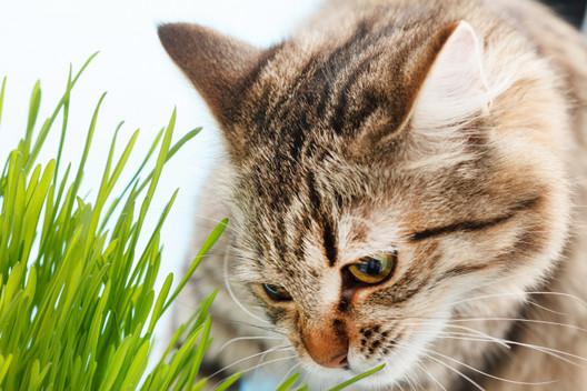 Dlaczego koty jedzą trawę?