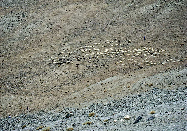 cattle grazing in Leh Ladakh on the mountainside