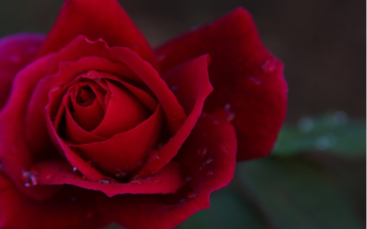 Red Rose Widescreen HD Wallpaper 4