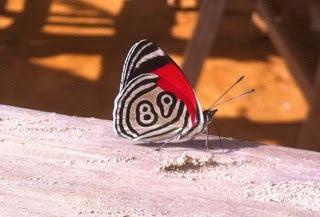 Mariposa 89 (Diaethria clymena) Foto de Fernando Conchello