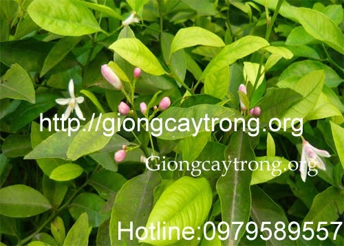 giong-cay-chanh-dao