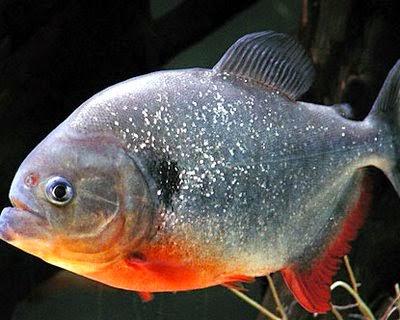 foto ikan piranha - gambar hewan