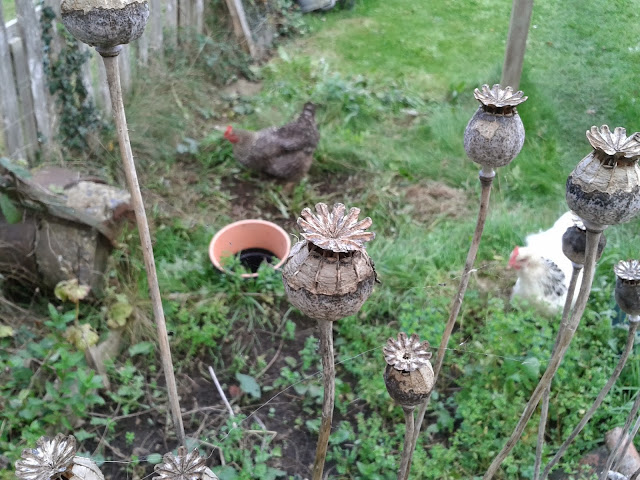 Poppy heads and chickens