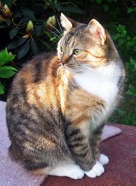 Maija-kissa