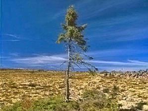 FAKTA UNIK - BEGINILAH Bentuk 3 Pohon Tertua di Dunia