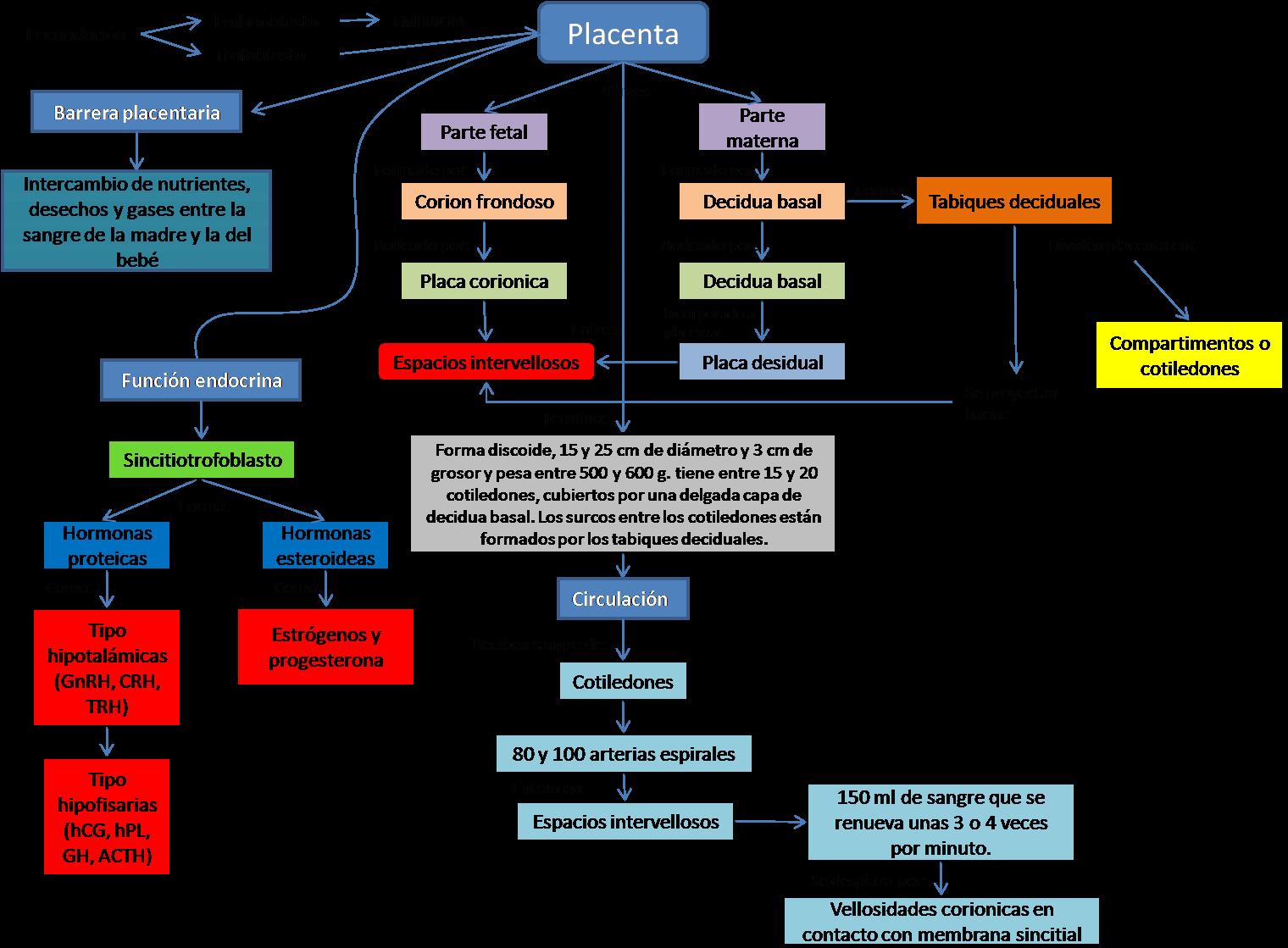 Blog de Ginecología.: Mapa: Anatomía y Fisiología de Placenta.