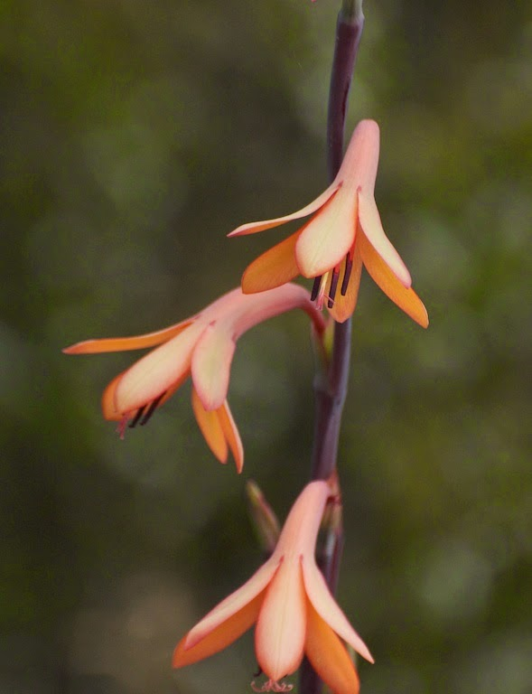 Bulbil Watsonia (Watsonia bulbillifera)