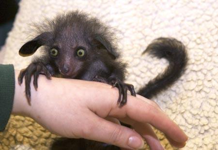 Самый крупный ночной примат