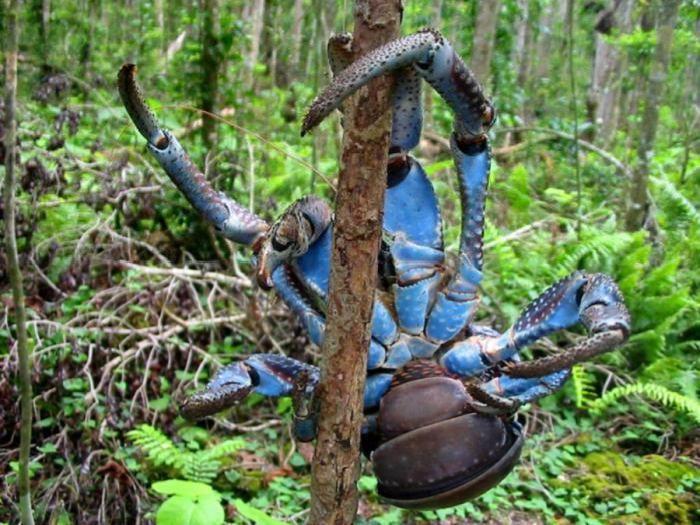 Coconut Crab Attacks?