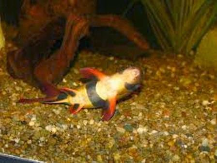 The freshwater tropical fish care for the clown loach for Freshwater clown fish