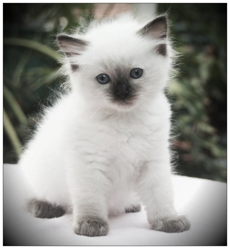 Gato Ragdoll R$ Ayuda Felina: El gato ...