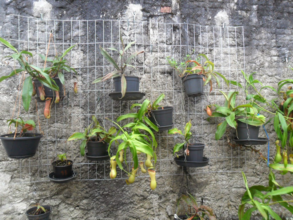 nepenthes vertical