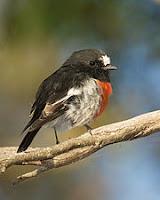 scarlet robin Petroica boodang