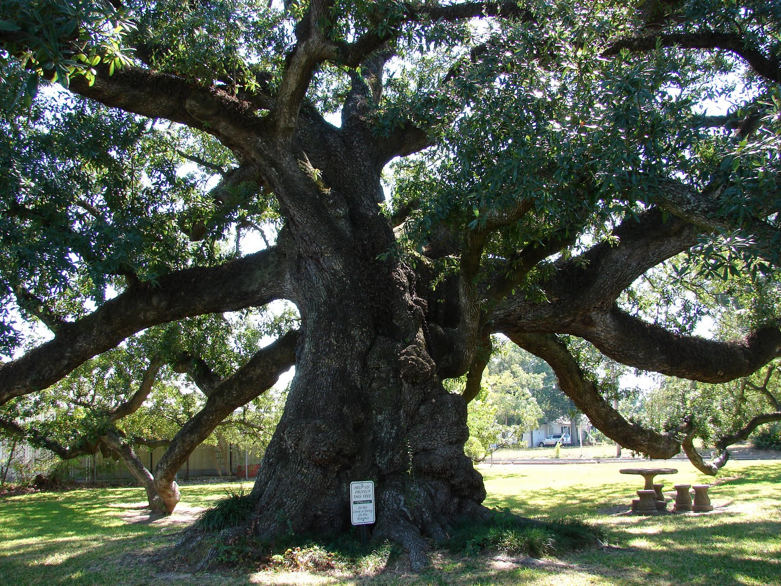 oak tree louisiana