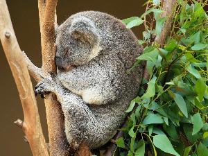 Lenguhan Koala Bisa 'Menipu' Ukuran Tubuhnya
