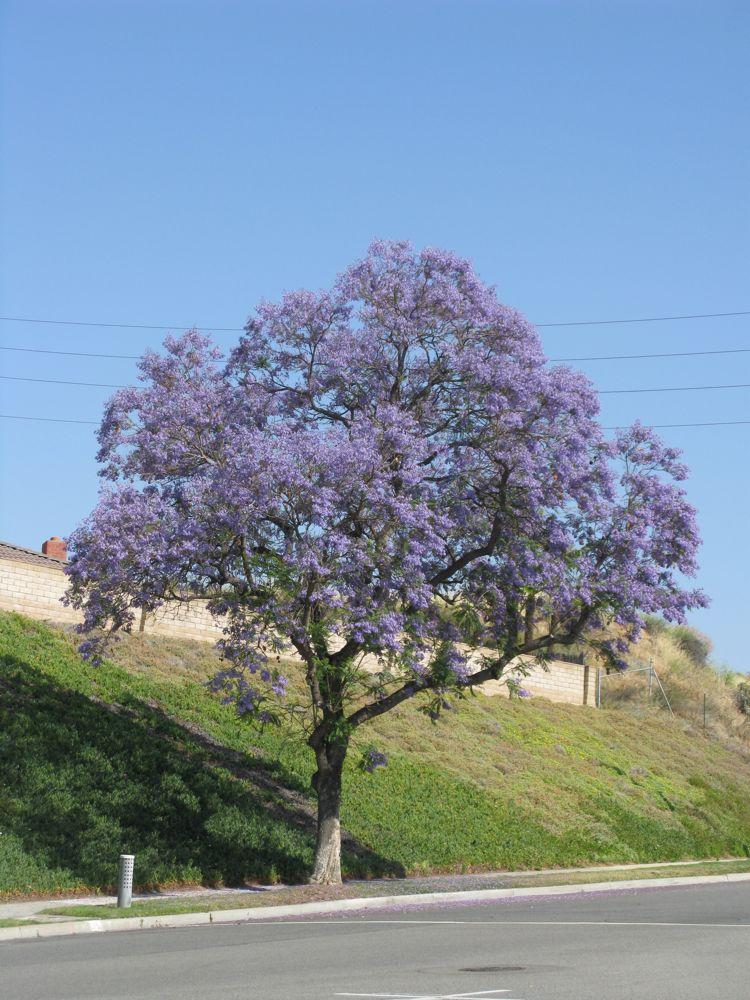OccasionalPiece: Jacaranda Trees
