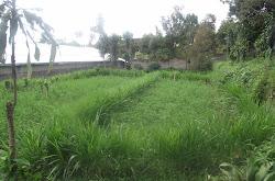 Kunjungan Kebun Alfalfa milik Ibu Aprilia tgl 16 Februari 2013