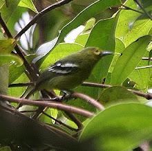 Green Iora_2011