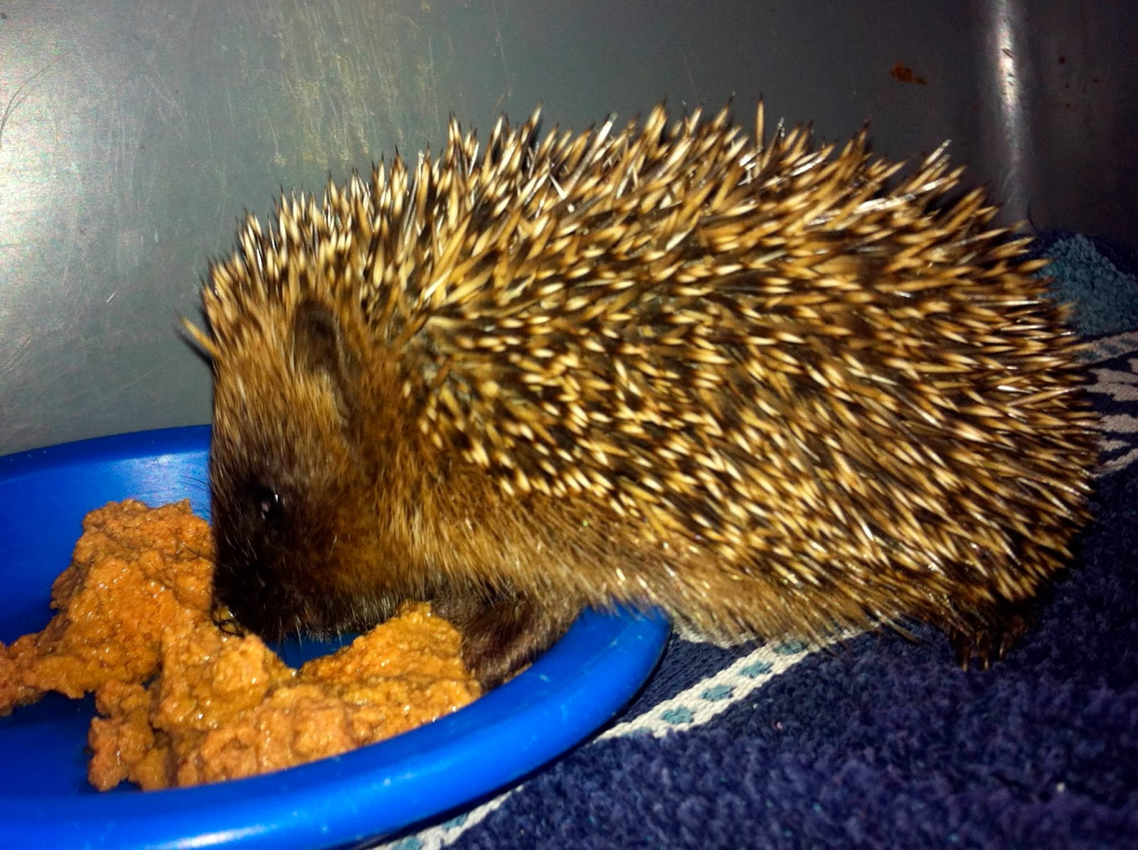 Rescued hedgehog eating