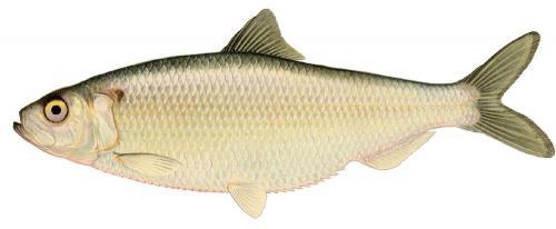Ikan Herring
