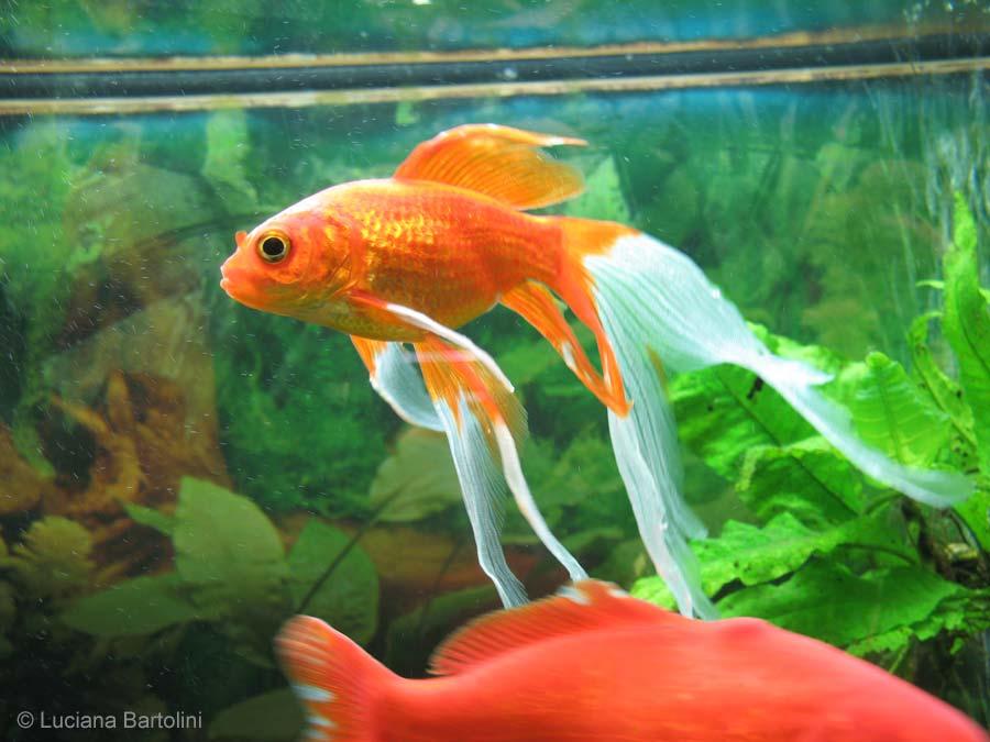 Animali e natura animali domestici il pesce rosso for Vasca pesci rossi giardino