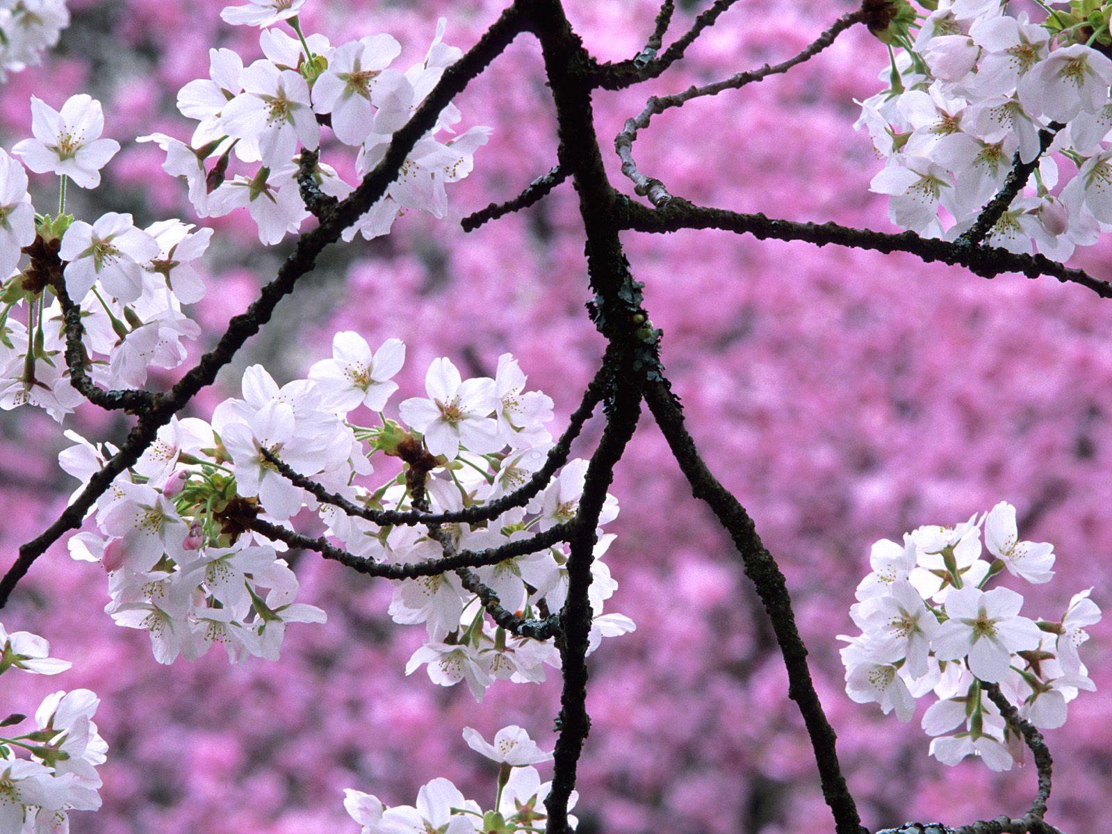 http://4.bp.blogspot.com/-vRUWYqrBpd0/TktPVLRTu8I/AAAAAAAAA4w/SLMsk4TmXjo/s1600/Cherry+Blossoms+in+Spring.jpg