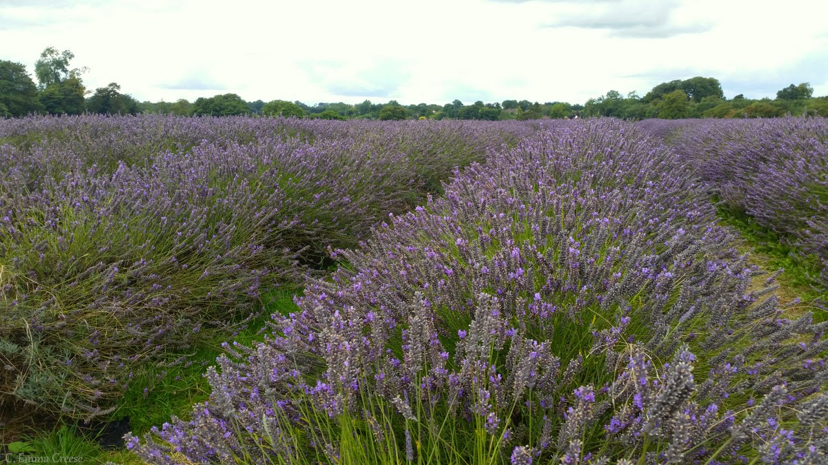 Unique things to do in London - Mayfield Lavender farm, Banstead Surrey.