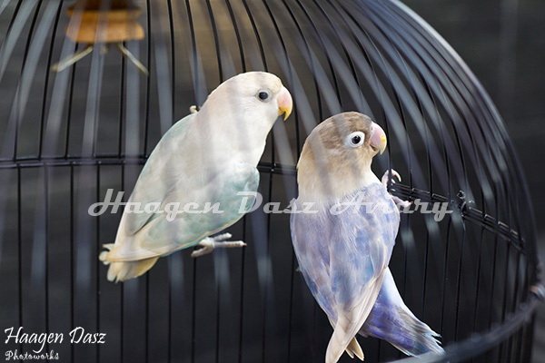 Lovebird pastel violet - photo#23