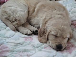 Golden retriever puppy sleeping.