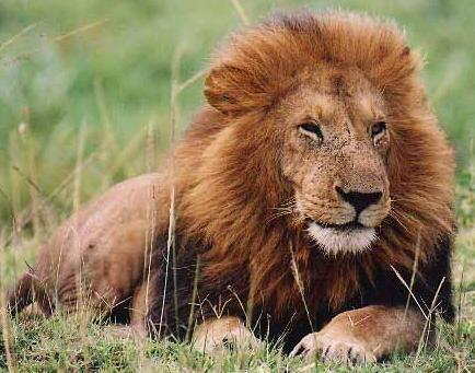 Factsram.blogspot: INTERESTING FACTS ABOUT LIONS