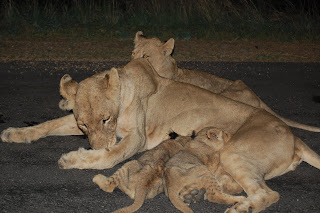 Lion Giving Birth - Bing images