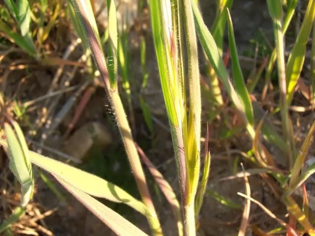 PELO-LIEBRE-Bromus-diandrus