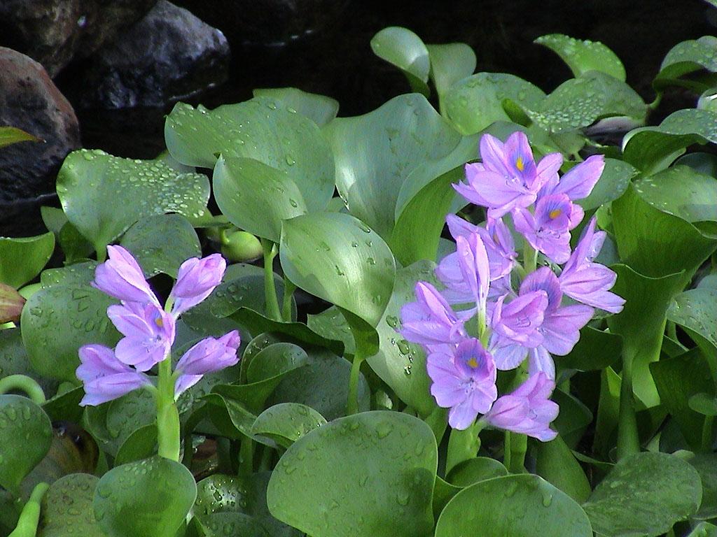 Il giardino delle Naiadi: PIANTE ACQUATICHE GALLEGGIANTI