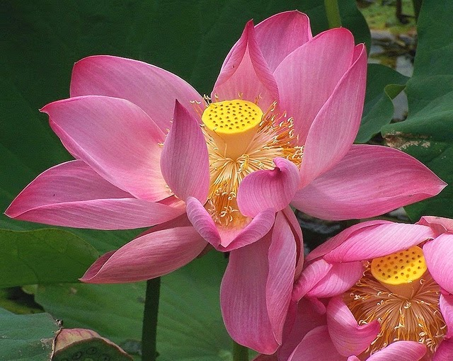 Me my thoughts 714 significance and symbolism of lotus in indian hindus gods are depicted as either standing or sitting on a bloomed lotus flower what is the significance of lotus in indian culture and tradition mightylinksfo